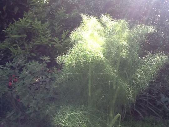 Photo of fennel plant in garden