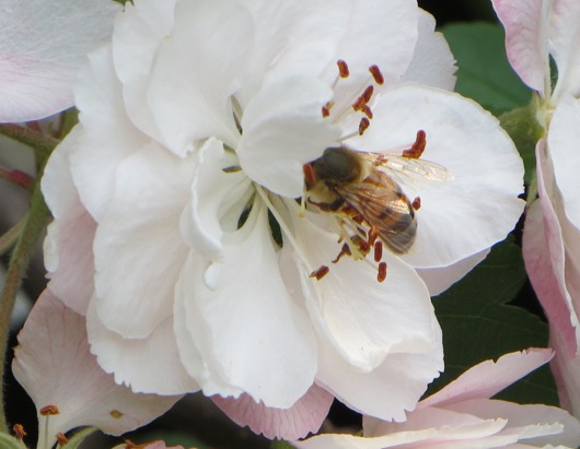 Photo of a bee on a white crabapple flower